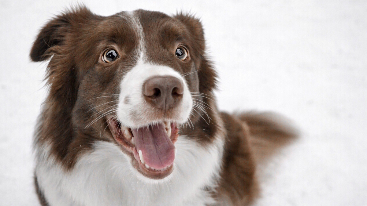 Border collie 4449956 1920